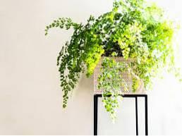 Kalltoleranta inomhusväxter krukväxter för kalla dragiga rum