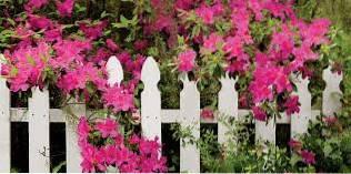 Créer des clôtures fleuries - Des fleurs qui poussent au-dessus des clôtures