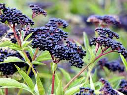 Germinating Elderberry Seeds - Elderberry Seed Growing Tips