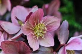 Hellebore Plant Types - Growing Different Hellebore Varieties