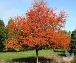Korean Sun Information  How To Grow A Korean Sun Pear Tree