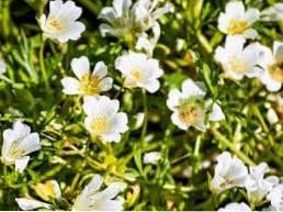 O que é Meadowfoam - Aprenda a cultivar plantas Meadowfoam