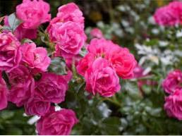 Zone 8 Rose Varieties - Growing Roses In Zone 8 Gardens