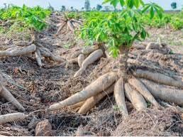 Plantepleie av kassava - Informasjon om hvordan man dyrker kassavaer