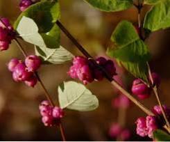 Información sobre el arbusto de coralberry Cómo cultivar grosellas indias