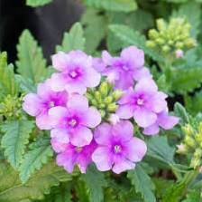 Growing Verbena Plants - Getting To Know Verbena Plant Varieties