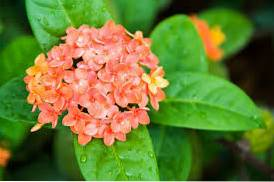 How To Get Ixora Flowers Methods For Getting Ixoras To Bloom