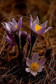 Pasque Flower Care Learn About Pasque Flower Cultivation