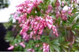 Propagating Pieris Plants How To Propagate Pieris Plants In The Landscape