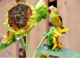 Sunflower Seed Heads And Kids How To Use Sunflower Heads To Feed Birds