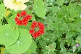 Verbena Companion Plants - Tips On What To Plant With Verbena