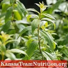 Informacje o roślinach werbeny to werbena i cytryna werbena to to samo