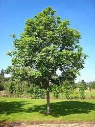 What Is A Green Ash - How To Grow A Green Ash Tree