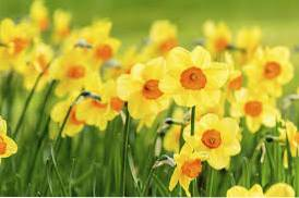 What Is The Difference Between Daffodil, Jonquil And Narcissus