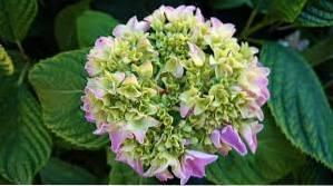 Zone 5 Hydrangeas - Growing Hydrangeas In Zone 5 Gardens