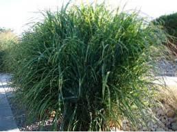 Zone 5 Ornamental Grasses Choosing Ornamental Grass Varieties In Zone 5