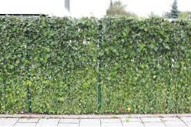 how to grow ivy on a fence