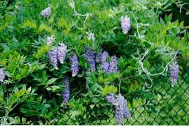 How To Plant A Living Fence - Using A Fast Growing Plant To Cover Fence