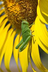Learn More About Sunflower Problems