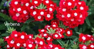 Pielęgnacja roślin werbeny Jak uprawiać rośliny werbeny